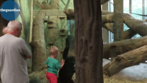 Gorilla playing peek a boo with this toddler: Gorilla playing peek a boo with this toddler