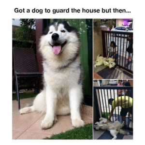 Too much of a friendly boy: Got a dog to guard the house but then... Too much of a friendly boy