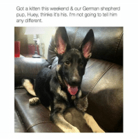 Swipe for more ➡ (@hilarious.ted): Got a kitten this weekend & our German shepherd  pup, Huey, thinks it's his. I'm not going to tell him  any different. Swipe for more ➡ (@hilarious.ted)