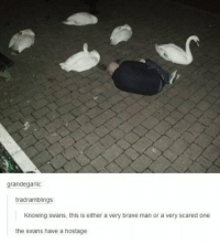 Brave, Swans, and One: grandegarlic:  tradramblings:  Knowing swans, this is either a very brave man or a very scared one  the swans have a hostage https://t.co/Essln5wdsA