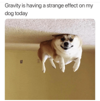 Memes, Gravity, and Today: Gravity is having a strange effect on my  dog today he knows hes not allowed on the ceiling