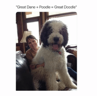 "Funny, Instagram, and Memes: ""Great Dane + Poodle = Great Doodle"" @boywithnojob has the funniest memes on Instagram"