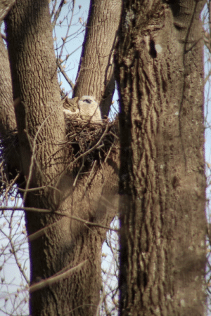 Great horned owl and it's plump owlet soaking in the sun together: Great horned owl and it's plump owlet soaking in the sun together