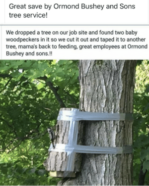Helping out two little woodpeckers: Great save by Ormond Bushey and Sons  tree service!  We dropped a tree on our job site and found two baby  woodpeckers in it so we cut it out and taped it to another  tree, mama's back to feeding, great employees at Ormond  Bushey and sons.!! Helping out two little woodpeckers
