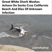 Memes, Shark, and Beach: Great White Shark Washes  Ashore On Santa Cruz California  Beach And Dies of unknown  Infection  @pmwhiphop Infected white shark struggles in surf in SantaCruz, California. RIP 😩 - WATCH NOW AT PMWHIPHOP.COM LINK IN BIO