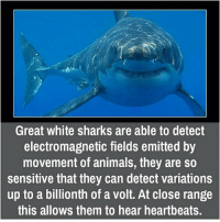 Animals, Memes, and Ups: Great white sharks are able to detect  electromagnetic fields emitted by  movement of animals, they are so  sensitive that they can detect variations  up to a billionth of a Volt. At close range  this alloWS them to hear heartbeats.