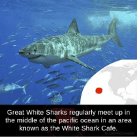 Memes, 🤖, and The Pacific: Great White Sharks regularly meet up in  the middle of the pacific ocean in an area  known as the White Shark Cafe.  fb.com/factsweird