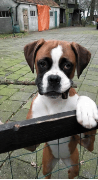 Greetings from Sparco!  by Jeroen Bos from Holland #boxer #beauty #woofandme: Greetings from Sparco!  by Jeroen Bos from Holland #boxer #beauty #woofandme