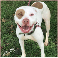 Greetings from the ever so beautiful Jayde. Click here for the adoption application: https://goo.gl/7FhaR0  #Jayde is about 2 1/2 yrs old and searching for a loving home. She is a fun, playful pup who wants nothing more than a lap to sit on and a face to lick. She's just as sweet as she looks and until now, a home is the only place she's ever really known. We would love to see her back in the comfort of a home!!   If you're interested in making her your newest family member, please fill out the adoption application today!!  #JaydeNybc #ForAdoption #AdoptMe #nybc #newyorkbullycrew: Greetings from the ever so beautiful Jayde. Click here for the adoption application: https://goo.gl/7FhaR0  #Jayde is about 2 1/2 yrs old and searching for a loving home. She is a fun, playful pup who wants nothing more than a lap to sit on and a face to lick. She's just as sweet as she looks and until now, a home is the only place she's ever really known. We would love to see her back in the comfort of a home!!   If you're interested in making her your newest family member, please fill out the adoption application today!!  #JaydeNybc #ForAdoption #AdoptMe #nybc #newyorkbullycrew