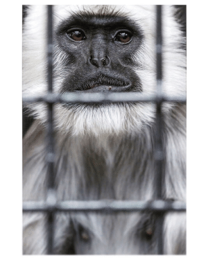 Grey, Species, and Primate: Grey Langur, threatened primate species