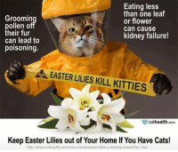 Cats, Easter, and Kitties: Groomin  ollen o  heir fur  can lead to  poisoning.  Eating less  than one leaf  or flower  can cause  kidney failure!  EASTER LILIES KILL KITTIES  μ.  眥cathealth com  Keep Easter Lilies out of Your Home If You Have Cats!  http:l/www.cathealth.com/toxic-itemsleaster-lilies-a-holiday-hazard-for-cats
