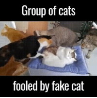 Look out kitties: Group of cats  fooled by fake cat Look out kitties