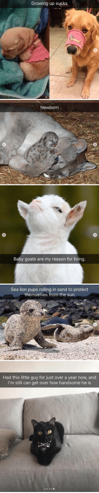Growing Up, Animal, and Lion: Growing up sucks   Newborn   Baby goats are my reason for living   Sea lion pups rolling in sand to protedt  themselves from the sun   Had this little guy for just over a year now, and  I'm still can get over how handsome he is Animal snaps