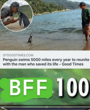 Wow 5000 miles to Meet the person who saved it's life: GTGOODTIMES.COM  Penguin swims 5000 miles every year to reunite  with the man who saved its life Good Times  BFF 100 Wow 5000 miles to Meet the person who saved it's life