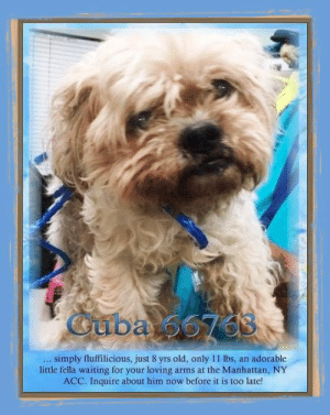 Animals, Desperate, and Dogs: Guba 56703  simply fluffilicious, just 8 yrs old, only 11 lbs,  little fella waiting for your loving arms at the Manhattan, NY  ACC. Inquire about him now before it is too late!  an adorable **FOSTER or ADOPTER NEEDED ASAP** Cuba 66763 ... simply fluffilicious, just 8 yrs old, only 11 lbs, an adorable little fella waiting for your loving arms at the Manhattan, NY ACC. Inquire about him now before it is too late!  ✔Pledge✔Tag✔Share✔FOSTER✔ADOPT✔Save a life!  Cuba 66763  Small Mixed Breed Sex male Age 8 yrs (approx.) - 11 lbs  My health has been checked.  My vaccinations are up to date. My worming is up to date.  I have been micro-chipped.   I am waiting for you at the Manhattan, NY ACC. Please, Please, Please, save me!  Found Location  183 Place HOLLIS, 11423 Date Found 6/21/2019  **************************************** *** TO FOSTER OR ADOPT ***   If you would like to adopt a NYC ACC dog, and can get to the shelter in person to complete the adoption process, you can contact the shelter directly. We have provided the Brooklyn, Staten Island and Manhattan information below. Adoption hours at these facilities is Noon – 8:00 p.m. (6:30 on weekends)  If you CANNOT get to the shelter in person and you want to FOSTER OR ADOPT a NYC ACC Dog, you can PRIVATE MESSAGE our Must Love Dogs - Saving NYC Dogs page for assistance. PLEASE NOTE: You MUST live in NY, NJ, PA, CT, RI, DE, MD, MA, NH, VT, ME or Northern VA. You will need to fill out applications with a New Hope Rescue Partner to foster or adopt a NYC ACC dog. Transport is available if you live within the prescribed range of states.  Shelter contact information: Phone number (212) 788-4000 Email adopt@nycacc.org  Shelter Addresses: Brooklyn Shelter: 2336 Linden Boulevard Brooklyn, NY 11208 Manhattan Shelter: 326 East 110 St. New York, NY 10029 Staten Island Shelter: 3139 Veterans Road West Staten Island, NY 10309 **************************************  NOTE:  WE HAVE NO OTHER INFORMATION THAN WHAT IS LISTED WITH THIS FLYER.  ************************************** RE: ACC site Just because a dog is not on the ACC site does NOT necessarily mean safe. There are many reasons for this like a hold or an eval has not been conducted yet or the dog is rescue-only... the list goes on... Please, do share & apply to foster/adopt these pups as well until their thread is updated with their most current status. TY! ****************************************** About Must Love Dogs - Saving NYC Dogs: We are a group of advocates (NOT a shelter NOR a rescue group) dedicated to finding loving homes for NYC dogs in desperate need. ALL the dogs on our site need Rescue, Fosters, or Adopters & that ASAP as they are in NYC high-kill shelters. If you cannot foster or adopt, please share them far & wide. Thank you for caring!! <3 ****************************************** RESCUES: * Indicates New Hope Rescue partner is accepting applications for fosters and/or adopters. http://www.nycacc.org/get-involved/new-hope/nhpartners ****************************************** https://www.nycacc.org/adopt/cuba-66763 ++++ http://nycaccpets.shelterbuddy.com/animal/animalDetails.asp?s=adoption&searchTypeId=4&animalType=3%2C16&datelostfoundmonth=6&datelostfoundday=23&datelostfoundyear=2019&tpage=8&find-submitbtn=Find+Animals&pagesize=16&task=view&searchType=4&animalid=100087 ++++ https://nycaccpets.shelterbuddy.com/animal/animalDetails.asp?task=search&advanced=1&rspca_id=66763&animalType=1%2C2%2C15%2C3%2C16%2C15%2C16%2C86%2C79&datelostfoundmonth=5&datelostfoundday=23&datelostfoundyear=2019&find-submitbtn=Find+Animals&tpage=1&searchType=2&animalid=100087 Beamer Maximillian Caro Hocker Carolin Hocker