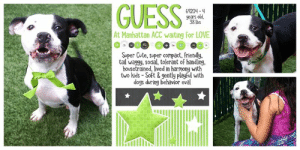 """Apparently, Cats, and Children: GUESS  69204-4  years old  38 lbs  At Manhattan ACC waiting for LOVE  Super Cute, super compact, friendly  tail waggy, social, tolerant of handling.  housetrained, lived in harmony with  two kids - Soft & gently playful with  dogs during behavior eval TO BE KILLED 8/22/19  GUESS WHO! Yes it's ya boy Guess. He's back at the shelter and probably even cuter than the first time, if that's possible. We aren't sure why he's back but we know he's been there since the very end of July and now he's out of time, added to """"The List,"""" in danger of losing his precious life so he needs a hero and a second chance in a loving home. ASAP. Guess has contracted that pesky shelter cold thats very easy to treat, especially once they are out of the shelter, but this is used as an excuse to euthanize. That's why we have to work extra hard to get Guess' plight (and all the others) out there before it's too late. Guess is an adorable boy - compact, playful and tail waggy. He did well with children outside of the shelter, and while he's been at the shelter he's doing well with other dogs, especially during his behavior evaluation. Guess is 4 years old and badly in need of a second chance with a confident, experienced owner whose going to make him feel safe and love no matter what. Please help us share him to the moon and back for his happy every after.   GUESS@MANHATTAN ACC Hello, my name is Guess My animal id is #69204 I am a male black dog at the  Manhattan Animal Care Center The shelter thinks I am about 4 years old, 38 lbs Came into shelter as a return 7/31/2019 Guess is rescue only   Guess is at risk due to behavior, New Hope Only determination. We recommend Guess go to an adult environment with no other pets that can manage behaviors reported in home and care center. Medically there are no concerns for Guess at this time.  My medical notes are... Weight: 38.2 lbs Vet Notes 7/16/2019 [DVM Intake] DVM Intake Exam Estimated age: 3-5 years Microchip noted on"""