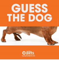 "CLUE: They're often called ""sausage dog.""  Share if you got the right answer.: GUESS  THE DOG  Healthy  pets.  With Dr. Karen Becker  HealthyPets.Mercola.com CLUE: They're often called ""sausage dog.""  Share if you got the right answer."