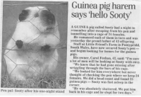 "srsfunny:  This Guinea Pig Is A Legend: Guinea pig harem  says 'hello Sooty  A GUINEA pig called Sooty had a night to  remember after escaping from his pen and  tunnelling into a eage of 24 females.  He romanced each of them in turn and was  yesterday the proud father of 43 offspring  Staff at Little Friend's Farm in Pontypridd  South Wales, have now secured Sooty's pen-  and begun looking for homes for the guinea  pigs.  His owner, Carol Feehan, 42, said: ""I'm sure  a lot of men will be looking at Sooty with envy.  ""We knew that he had gone missing after  ""We looked for him everywhere but never  females. We did a head count and found 25  wriggling through the bars of his cage.  thought of checking the pen where we keep 24  guinea pigs-Sooty was fast asleep in the  eorner.  ""He was absolutely shattered. We put him  Pen pal: Sooty after his one-night stand back in his cage and he slept for two days."" srsfunny:  This Guinea Pig Is A Legend"