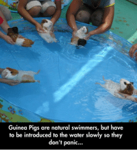 Water, Guinea, and Pigs: Guinea Pigs are natural swimmers, but have  to be introduced to the water slowly so they  don't panic... <p>Natural Swimmers.</p>