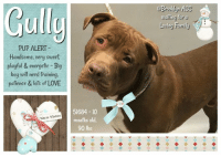 "Apparently, Cats, and Children: Gul  @Brookyn ACC  wailing for a  Li  Loving Fault  PUP ALERT  Handsome, very sweet.  playful & energetic Big  boy will need training.  pafience & lots of LOVE  51684-10  months old  90 lbs  Warm Wishes **** TO BE KILLED - 1/8/2019 ****  ANOTHER SAD FACED PUP DESPERATELY HOPING FOR ANOTHER CHANCE AT FREEDOM, HAPPINESS AND FAMILY. Gully the gigantic 10 month old, vanilla and chocolate puppy with joy in his eyes, is described as ""very sweet soft bodied,wiggly, allowing all handling, and extremely sociable."" Like most puppies, he's ready for guidance and structure. He gives stand up greetings and vocally communicates. His heart and personality are just as gigantic as his size. His life has just begun and his innocence leads him to believe everyone is loving. Sadly the shelter targets his exuberance, size and openness with a fast track to the kill list, and will destroy him the moment they are able to. As unimaginable as it is to destroy a young, innocent, happy and loving puppy, the fact is the shelter does this regularly. Gully is most urgent, and will likely not be reprieved. If you can adopt, or foster for free, please message this page.  GULLY@BROOKLYN ACC Hello, my name is Gully My animal id is #51684 I am a male brown dog at the  Brooklyn Animal Care Center The shelter thinks I am about 10 months old, 90 lbs Came into shelter as a stray Jan. 2, 2019 Gully is rescue only  Gully was placed at risk due to behavioral concerns; Gully has displayed a low threshold for arousal, rapidly escalating and quickly tipping over to aggression (humping, nipping and being fixated). Due to all noted concerns displayed, we are recommending Gully be placed with a New Hope placement partner who is able to provide an experienced adult-only foster home. Gully was diagnosed with Conjunctivitis.  My medical notes are... Weight: 90 lbs Vet Notes 2/01/2019 DVM Intake Exam Estimated age: 10 months Microchip noted on Intake? negative History : stray  Subjective: BARH Observed Behavior - very sweet but very energetic and difficult to handle.  Evidence of Cruelty seen - no Evidence of Trauma seen - no Objective  P = wnl  R = eupneic  BCS 5/9 EENT: Eyes clear, ears clean, no nasal discharge noted Oral Exam: clean adult dentition, no oral lesions noted PLN: No enlargements noted H/L: NSR, NMA, CRT < 2, Lungs clear, eupneic ABD: Non painful, no masses palpated U/G: MI, 2 testicles descended MSI: Ambulatory x 4, skin free of parasites, no masses noted, healthy hair coat CNS: mentation appropriate - no signs of neurologic abnormalities Assessment:Apparently healthy Plan: Continue to monitor while at BACC Prognosis: Excellent SURGERY: ok to schedule for surgery 4/01/2019  H: Noted to be squiting OS S: BARH. No csvd.   Eyes: Blepharospasm OS with moderate peri-ocular erythema OU Ears: Unremarkable AU. Nasal Cavity: No nasal discharge.  Lungs: Eupneic Musculoskeletal: Ambulatory x 4 with no appreciable lameness.  BCS = 5/9 Integument: Otherwise unremarkable haircoat. Neuro: Appropriate mentation.  Rectal: Not performed. Externally normal.  Assessment: Conjunctivitis- r/o allergies v trauma v infectious  Plan: Start neopolybac ointment OU BID x 7d, then reassess  Details on my behavior are... Behavior Condition: 2. Blue Behavior History Behavior Assessment During intake Gully was relaxed and had a loose body. He allowed the counselor to collar him and take his picture with no problems. Basic Information:: Gully is a brown and white male dog that was brought to the ACC as a stray due to the fact his owner could no longer care for him. Previously lived with:: Unknown information How is this dog around strangers?: When meeting the staff at the ACC for the first time Gully had a loose body and was wagging his tail. He allowed the counselor to How is this dog around children?: Client stated that when around children Gully is relaxed and affectionate. when playing with children he is exuberant. How is this dog around other dogs?: Unknown information How is this dog around cats?: Unknown information Resource guarding:: Unknown information Bite history:: Unknown information Energy level/descriptors:: High Other Notes:: Unknown information Medical Notes: Unknown information For a New Family to Know: Unknown information  Date of intake:: 1/2/2019  Spay/Neuter status:: No  Means of surrender (length of time in previous home):: Stray, with some info  Behavior toward strangers:: Friendly and outgoing  Behavior toward children:: relaxed, affectionate  Energy level/descriptors:: high  Date of assessment:: 1/4/2019  Look:: 1. Dog's eyes are averted, with tail wagging and ears back. Allows head to be held loosely in Assessor's cupped hands. Sensitivity:: 1. Dog stands still and accepts the touch, eyes are averted, and tail is in neutral position with a relaxed body posture. Dog's mouth is likely closed for at least a portion of the assessment item. Tag:: 1. Dog follows at the end of the leash, body soft. Paw squeeze 1:: 1. Dog does not respond at all for three seconds. Eyes are averted and ears are relaxed or back. Paw squeeze 2:: 1. Dog does not respond at all for three seconds. Eyes are averted and ears are relaxed or back. Toy:: 1. Minimal interest in toy, dog may smell or lick, then turns away.  Summary:: When coming into assessment room, Gully began to hump handler and did not listen to verbal ques, water or air correctors. Assessor had to pull Gully away from handler, he remained fixated then redirected his focus to assessor. Assessor separated Gully from handler, he then tried to jump up on assessor and hump them as well. Assessor walked Gully around room before beginning assessment.   Gully allowed all handling showing no concerning behaviors throughout assessment.  Summary (1):: Gully was surrender as a stray so his past behavior with other dogs is unknown.   1/3: When off leash at the Care Centers, Gully stands on his tiptoes and whimpers when greeting the novel female dog. He attempts to mount her and is slow to listen to handler interruptions. After both dogs were separated, Gully explores the yard displaying chatters. Date of intake:: 1/2/2019 Summary:: loose wiggly body, allowed all handling Date of initial:: 1/2/2019 Summary:: very sweet but very energetic and difficult to handle.  ENERGY LEVEL:: - We have no history on Gully so we cannot be certain of his behavior in a home environment. However, he is a young, enthusiastic, social dog who will need daily mental and physical activity to keep him engaged and exercised. We recommend long-lasting chews, food puzzles, and hide-and-seek games, in additional to physical exercise, to positively direct his energy and enthusiasm.  IN SHELTER OBSERVATIONS:: 1/4: While placing a harness on Gully, Gully immediately began to mount both handlers. When he was deterred, he became frustrated and place his mouth on both the handler's arms, with moderate pressure. Due to his size, strength, and arousal, he is not a candidate for adoptions at this time.  BEHAVIOR DETERMINATION:: NEW HOPE ONLY Behavior Asilomar: TM - Treatable-Manageable Recommendations:: No young children (under 5),No children (under 13),Place with a New Hope partner Recommendations comments:: - Due to all noted concerns displayed, the behavior department recommends Gully be placed with a New Hope placement partner who is able to provide an experienced adult-only foster home. A period of decompression is recommended to allow Gully to acclimate comfortably to his new environment; force-free, reward based training only is advised when introducing Gully to new and unfamiliar situations. Consultation with a professional trainer/behaviorist is highly recommended for guidance to safely manage/modify any behavior Gully presents with outside of the care centers. Potential challenges: : Basic manners/poor impulse control,Strength/leash pulling,Low threshold for arousal Potential challenges comments:: STRENGTH/LEASH PULLING: Gully is a very large, strong dog with the capability to pull over an average adopter. His adopter must be prepared and able to handle a dog of this size and strength. It is recommended that he be walked on a front clip harness or head halter, which help diminish his strength through leverage, and that he be trained using positive reinforcement, reward based training to not pull on leash. Social Hyper Arousal: Gully has displayed low threshold for arousal, rapidly escalating and quickly tipping over to aggression (humping, nipping and being fixacted) Immediate intervention and consultation with a qualified veterinary behaviorist/professional trainer is strongly recommended to aid in addressing this issue to prevent further behavioral concerns that may appear in the future if not treated right away. We recommend only force-free, reward based training when introducing or exposing Gully to new and unfamiliar situations. BASIC MANNERS/POOR IMPULSE CONTROL - It is recommended that default behaviors such as ""Leave it"", ""Sit/Stay"", ""Down"" are reinforced to substitute any frustration and teach him to control his impulses instead of simply reacting; proper management is also advised. Force-free, reward based training only is recommended.  GULLY IS RESCUE ONLY…..TO SAVE THIS PUP YOU MUST FILL OUT APPLICATIONS WITH AT LEAST 3 NEW HOPE RESCUES. PLEASE HURRY!!!   IF YOU CAN FOSTER OR ADOPT THIS PUP, PLEASE PM OUR PAGE FOR ASSISTANCE. WE CAN PROVIDE YOU WITH LINKS TO APPLICATIONS WITH NEW HOPE RESCUES WHO ARE CURRENTLY PULLING FROM THE NYC ACC.  PLEASE SHARE THIS DOG FOR A HOME TO SAVE HIS LIFE."