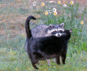 Tumblr, Blog, and Over the Hedge: gummi-waffen:  gunn1337:  @gummi-waffen   Raccoons will hang out with almost anything.   Over The Hedge (2006)