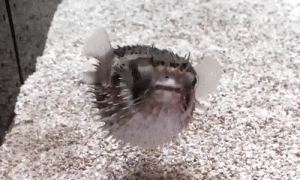 Bad, Dancing, and Music: guy:  bunjywunjy:  seatrench:  A Pufferfish inflating itself by rapidly intaking water (source)  did someone kick a cable? he's lagging pretty bad  i was listening to music when i scrolled by this and it just looked like he was dancing