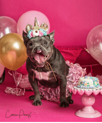 GUYS LOOK AT QUIGLEYS SNEAK PEAK BIRTHDAY PHOTO SHOOT!!!!! Help us send thanks to aunt Carrie at Photography by Carrie for such outstanding photos!!! We will share her last photo shoot with aunt Carrie today which will melt you all! She has donated her time for both shoots and it means a ton to all of us here! And Bubba Rose Biscuit Co. donated the unicorn cake for the birthday girl. Our baby Quigley is truly a medical marvel and has proven pitbull strong after so many surgeries to be able to celebrate her first birthday coming up. She is a Christmas day baby and her Mission fundraiser/birthday party is the 22nd. We will have cake and unicorns to pet. BOL!   Love, MacProudOfMyBabyUnicorn: GUYS LOOK AT QUIGLEYS SNEAK PEAK BIRTHDAY PHOTO SHOOT!!!!! Help us send thanks to aunt Carrie at Photography by Carrie for such outstanding photos!!! We will share her last photo shoot with aunt Carrie today which will melt you all! She has donated her time for both shoots and it means a ton to all of us here! And Bubba Rose Biscuit Co. donated the unicorn cake for the birthday girl. Our baby Quigley is truly a medical marvel and has proven pitbull strong after so many surgeries to be able to celebrate her first birthday coming up. She is a Christmas day baby and her Mission fundraiser/birthday party is the 22nd. We will have cake and unicorns to pet. BOL!   Love, MacProudOfMyBabyUnicorn