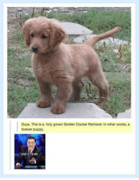 Forever, Puppy, and Words: Guys. This is a fully grown Golden Cocker Retriever. In other words, a  forever puppy.  , GIVE IT TO ME <p>A Puppy Forever.</p>