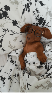 Today, Dachshund, and Will: H A R R Y P U P P E R and the Order of the goodboye