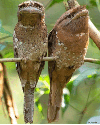 These birds with muppet faces: H.Pratik These birds with muppet faces