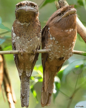 Birds, Muppet, and  Faces: H.Pratik These birds with muppet faces