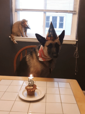 Birthday, Dogs, and Cat: HA  AIRT It is my dog's birthday...the cat was less than tolerant of the festivities 😂