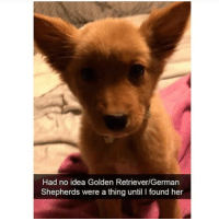 Love, Memes, and Golden Retriever: Had no idea Golden Retriever/German  Shepherds were a thing until I found her Follow @vodkalana I love her page!!