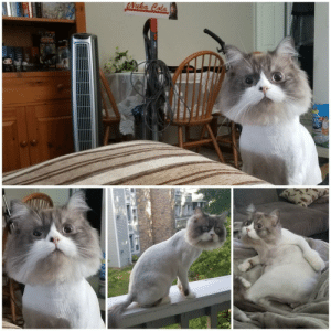 Had to have the vet shave my cat to treat a skin issue, and he looked so fake no one believed these photos were real.: Had to have the vet shave my cat to treat a skin issue, and he looked so fake no one believed these photos were real.