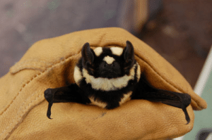 haiku-robot:  catsfeminismandatla:  simonalkenmayer:   simonalkenmayer:  phllotes:  lieutenantfish:   lesless:  smallnightbird:  New species of bat found, Niumbaha superba, and it's adorable.  Oh wow! I'm glad people are as excited about animals as I am. Here's some additional photos. Fun fact: this bat is so different from others that a new genus was created!    new bat!   new bat!  My god… It's as if someone heard me and made a hybrid of two of my most loved animals… bee bat. Bat bee?   Not the bat we deserve, but the one we need.   It's like a bumblebee and a bat had the cutest baby possible   it's like a bumblebee and a bat had the cutest baby possible ^Haiku^bot^9. I detect haikus with 5-7-5 format. Sometimes I make mistakes.Your Human® Body® is mediocre | PayPal | Patreon : haiku-robot:  catsfeminismandatla:  simonalkenmayer:   simonalkenmayer:  phllotes:  lieutenantfish:   lesless:  smallnightbird:  New species of bat found, Niumbaha superba, and it's adorable.  Oh wow! I'm glad people are as excited about animals as I am. Here's some additional photos. Fun fact: this bat is so different from others that a new genus was created!    new bat!   new bat!  My god… It's as if someone heard me and made a hybrid of two of my most loved animals… bee bat. Bat bee?   Not the bat we deserve, but the one we need.   It's like a bumblebee and a bat had the cutest baby possible   it's like a bumblebee and a bat had the cutest baby possible ^Haiku^bot^9. I detect haikus with 5-7-5 format. Sometimes I make mistakes.Your Human® Body® is mediocre | PayPal | Patreon