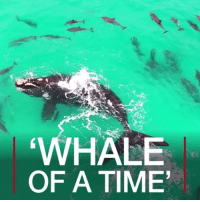 Beautiful, Friends, and Memes: HALE  OF A TIME JUL 11: Beautiful footage captured off the Western Coast of Australia shows a whale playing among dolphins. For more: bbc.in-dolphin beautiful dolphins cool video whale dolphin australia water sea ocean coast westernaustralia friends play pod amazing nature waterfun bbcshorts bbcnews @bbcnews