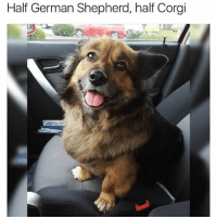 Corgi, Funny, and Ted: Half German Shepherd, half Corgi I want one (@hilarious.ted)