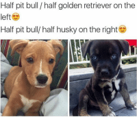 Golden Retriever: Half pit bull half golden retriever on the  left  Half pit bull/ half husky on the right
