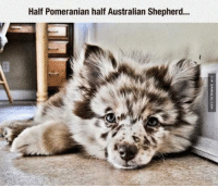 Dogs, Memes, and Best: Half Pomeranian half Australian Shepherd... The Result Is Probably The Best Dog Ever