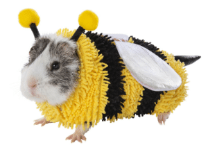 Halloween costume for a guinea pig. I'm in love with this animal!: Halloween costume for a guinea pig. I'm in love with this animal!