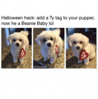 Halloween, Lol, and Memes: Halloween hack: add a Ty tag to your pupper,  now he a Beanie Baby lol  @DrSmashlove I fell asleep and didn't do any bingos....