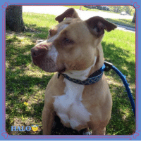 Beautiful, Children, and Click: Halo is our overlooked beautiful misunderstood girl that is still looking for her perfect person. If that could be you please click here to learn more or adopt her: https://goo.gl/x0ZWwL  ~KENNEL SPONSORED BY: Matt Cahill of DrivenSports.com  Hello from our girl Halo. She is another lucky soul given a second chance by the officers of the NYPD 71st Precinct in Brooklyn, NY where she was found abandoned and covered in open bite wounds. We do not know how she wound up in such terrible condition but what we do know, is that she has been safe here with us ever since. But it's time for her to find her furever.  She has been with us for quite some time and although she seems content, we can only hope that she will one day find her very own furever home.  Halo is extremely loyal and loving. She is excited at the sight of a familiar face and loves to snuggle up with her blanket and chew on her toys. She does well with new people after a proper introduction and would feel most comfortable in a home with no other pets or children under 12.   We can only hope that one day, someone with patience and understanding will come along to give this angel the life she deserves. If you are interested in adopting Halo please fill out an application today!!  #HaloNybc #ForAdoption #AdoptMe #FosterMe #FosteringSavesLives #Nybc #NewYorkBullyCrew #speakingfirtheoneswhocant #fightabusenotdogs