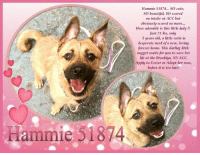 "Animals, Apparently, and Beautiful: Hammie 51874... SO cute,  SO beautiful, SO scared  on intake at ACC but  obviously scared no more...  How adorable is this little lady !!  Just 21 lbs, only  2 years old, a little cutie in  desperate need of a new, loving  forever home. This darling little  nugget waits for you to save her  life at the Brooklyn, NY ACC.  Apply to Foster or Adopt her now,  before it is too late!  Hammie 51874 **FOSTER or ADOPTER NEEDED ASAP**  Hammie 51874... SO cute, SO beautiful, SO scared on intake at the shelter but obviously scared no more... Just 21 lbs, only 2 years old, a little cutie in desperate need of a new, loving forever home. This darling little nugget waits for you to save her life at the Brooklyn, NY ACC. Apply to Foster or Adopt her now, before it is too late!  ✔Pledge✔Tag✔Share✔FOSTER✔ADOPT✔Save a life!  Hammie 51874 Small Mixed Breed Sex female Age 2 yrs (approx.) - 21 lbs My health has been checked.  My vaccinations are up to date. My worming is up to date.  I have been micro-chipped.  I am waiting for you at the Brooklyn, NY ACC. Please, Please, Please, save me!  ************************************** To FOSTER or ADOPT adorable little Hammie, SPEAK UP NOW & Save a Life, APPLY with rescues OR message Must Love Dogs - Saving NYC Dogs IMMEDIATELY!!!! **************************************  The general rule is to foster you have to be within 4 hours of the NYC ACC approved New Hope partner rescues you are applying with and to adopt you will have to be in the general NE US area; NY, NJ, CT, PA, DC, MD, DE, NH, RI, MA, VT & ME (some rescues will transport to VA).  **************************************  ""Rescue only"" means a foster or adopter must live within the Northeastern states and must apply to rescues already approved to pull from NYC ACC shelters. Rescues can't do anything without APPLICATIONS! If your application is approved, rescue will arrange transport. **************************************  Date of intake: 5-Jan-2019 Spay/Neuter status: Yes Means of surrender (length of time in previous home): Stray, no known history   PLAYGROUP: When off leash with dogs at the Care Center, Hammie initially displayed a fearful, tucked posture and kept to herself as she avoided the remainder of the group of small male and female dogs. She did offer correction when a dog greeted her face to face. She has become more social with the other dogs. She will greet then walk away to explore the pens.   Date of assessment: 8-Jan-2019 Summary:  Leash Walking Strength and pulling: Moderate Reactivity to humans: None, ignores Reactivity to dogs: None, ignores Leash walking comments:  Sociability Loose in room (15-20 seconds): Fearful, avoids, whale-eyed Call over: No approach, nervous and tense Sociability comments: Hammie remained highly fearful during her time in the behavior room; moving away, yawning and lip licking, tensing upon approach  Handling  Soft handling: Exuberant handling: Handling comments: Unable to conduct due to fear  Arousal Jog: Tug: Arousal comments: Unable to conduct due to fear  Raised voice:  Comments: Did not conduct  Toy: No interest Toy comments:   Date of intake: 5-Jan-2019 Summary: Stiff bodied, tolerated some light handling  DVM Intake Exam Estimated age: ~1-2 years Microchip noted on Intake? negative History: stray  Subjective: BARH Observed Behavior - lunging and trying to nip. Very scared, tense, nervous, expressed anal glands, and urinated during exam. Muzzled for exam. Evidence of Cruelty seen - no Evidence of Trauma seen - no EENT: Eyes clear, ears clean, no nasal discharge noted Oral Exam: muzzled PLN: No enlargements noted H/L: NSR, NMA, CRT < 2, Lungs clear, eupneic ABD: Non painful, no masses palpated U/G: FI, no MGTs, no vulvar d/c, edematous vulva MSI: Ambulatory x 4, skin free of parasites, no masses noted, healthy hair coat CNS: mentation appropriate - no signs of neurologic abnormalities  Assessment: Apparently healthy  Plan: Continue to monitor while at BACC Rec behavioral assessment  Prognosis: Excellent  SURGERY: Ok to schedule for surgery  Behavior Asilomar/TM - Treatable-Manageable Recommendations: No children (under 13)/Place with a New Hope partner/Recommendations comments: No children (under 13): Due to Hammie's high fear level, we believe she may be best set up to succeed in an adult only home environment. Place with a New Hope partner: Hammie allows minimal handling in the care center and remains fearful of novel stimuli and strangers. Hammie will move away upon direct approach and will escalate to growling. Hammie may be best set up to succeed through placement with an experienced rescue partner who can reassess her behavior in a stable home environment. Force-free, reward based training only is advised. Potential challenges: Handling/touch sensitivity/ Fearful/potential for defensive aggression ... NOTE: *** WE HAVE NO OTHER INFORMATION THAN WHAT IS LISTED WITH THIS FLYER *** - For more information or to adopt, please EMAIL adopt@nycacc.org  - SUBJECT Line: ** Dogs Name & ID# **  - Don't forget to add your email address and phone numbers where they can reach you to your email as well. .... RE: ACC site Just because a dog is not on the ACC site does not mean they are safe by any means. There are many reasons for this like a hold or an eval has not been conducted yet or the dog is rescue-only... the list goes on... Please, do share & apply to foster/adopt these pups as well until their thread is updated with their most current status. TY!  ============ Shelter address ========= - Brooklyn Shelter: 2336 Linden Boulevard, Brooklyn, NY 11208  - Phone number: 212-788-4000 (is automated only) Operating hours: Monday through Friday 12.00pm to 8.00pm, Saturday & Sunday: 10.00am to 6.00pm. Closed on all Holidays. =================================  == About Must Love Dogs - Saving NYC Dogs == We are a group of advocates (NOT a shelter NOR a rescue group) dedicated to finding loving homes for NYC dogs in desperate need. ALL the dogs on our site need Rescue, Fosters, or Adopters & that ASAP as they are in NYC high-kill shelters. If you cannot foster or adopt, please share them far & wide. Thank you for caring!! <3 ================================= RESCUES: * Indicates New Hope Rescue partner is accepting applications for fosters and/or adopters. http://www.nycacc.org/get-involved/new-hope/nhpartners ================================= ++++ https://nycaccpets.shelterbuddy.com/animal/animalDetails.asp?task=search&advanced=1&rspca_id=51874&animalType=1%2C2%2C15%2C3%2C16%2C15%2C16%2C86%2C79&datelostfoundmonth=1&datelostfoundday=1&datelostfoundyear=2019&find-submitbtn=Find+Animals&tpage=1&searchType=2&animalid=90443 ++++ Beamer Maximillian Caro Hocker Carolin Hocker"