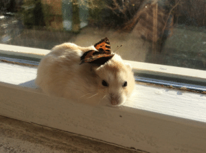 hamsterobsessed:Molly has a real butterfly on her head!: hamsterobsessed:Molly has a real butterfly on her head!