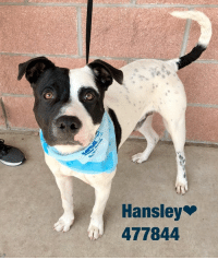 Email Placement@sanantoniopetsalive.org if you are interested in Adopting, Fostering, or Rescuing!  Our shelter is open from 11AM-7PM Mon -Fri, 11AM-5PM Sat and Sun.  Urgent Pets are at Animal Care Services/151 Campus. SAPA! is Only in Bldg 1 GO TO SAPA BLDG 1 & bring the Pet's ID! Address: 4710 Hwy. 151 San Antonio, Texas 78227 (Next Door to the San Antonio Food Bank on 151 Access Road)  **All Safe Dogs can be found in our Safe Album!** ---------------------------------------------------------------------------------------------------------- **SHORT TERM FOSTERS ARE NEEDED TO SAVE LIVES- email placement@sanantoniopetsalive.org if you are interested in being a temporary foster!!**: Hansley  477844 Email Placement@sanantoniopetsalive.org if you are interested in Adopting, Fostering, or Rescuing!  Our shelter is open from 11AM-7PM Mon -Fri, 11AM-5PM Sat and Sun.  Urgent Pets are at Animal Care Services/151 Campus. SAPA! is Only in Bldg 1 GO TO SAPA BLDG 1 & bring the Pet's ID! Address: 4710 Hwy. 151 San Antonio, Texas 78227 (Next Door to the San Antonio Food Bank on 151 Access Road)  **All Safe Dogs can be found in our Safe Album!** ---------------------------------------------------------------------------------------------------------- **SHORT TERM FOSTERS ARE NEEDED TO SAVE LIVES- email placement@sanantoniopetsalive.org if you are interested in being a temporary foster!!**