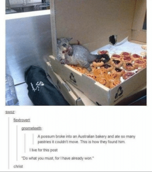 "Meirl: HAOLIAY  SWOZ:  flextrovert  gnometeeth  A possum broke into an Australian bakery and ate so many  pastries it couldn't move. This is how they found him.  I live for this post  ""Do what you must, for I have already won.""  christ Meirl"