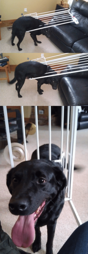 happicuppa:  pardonmewhileipanic:  this is Duke Duke tried to go through the cat door the cat door of the baby gate, meant specifically to keep him out of the basement and away from the cat food Duke is NOT in fact, a cat Duke has shamed his ancestors (and knocked over a lamp)  oh my god. : happicuppa:  pardonmewhileipanic:  this is Duke Duke tried to go through the cat door the cat door of the baby gate, meant specifically to keep him out of the basement and away from the cat food Duke is NOT in fact, a cat Duke has shamed his ancestors (and knocked over a lamp)  oh my god.