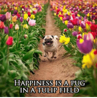 <p>What Happiness Is Truly About.</p>: HAPPINESS IS A PUG  IN A TULIP FIELD <p>What Happiness Is Truly About.</p>