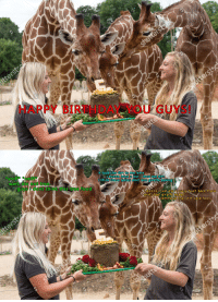 Baked, Crazy, and Food: HAPPY BIREHDAY YOU GUYS!  it look like dirt to me larry  *sniff* *sniff*  i dunno bout u but i dont eat dirt  think these ladies dont kno airaffé bakina  wait, dis not tree  guys iidont think this tree food  just ate a crazy bush back the  and i feel giraffe baked  lemme at that dirt cake fools