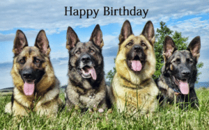 25+ Best German Shepherd Birthday Meme Memes | Funny Memes